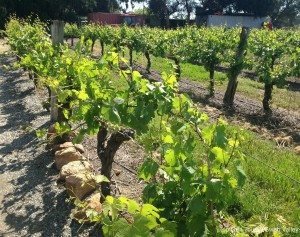 vines at windy creek estate
