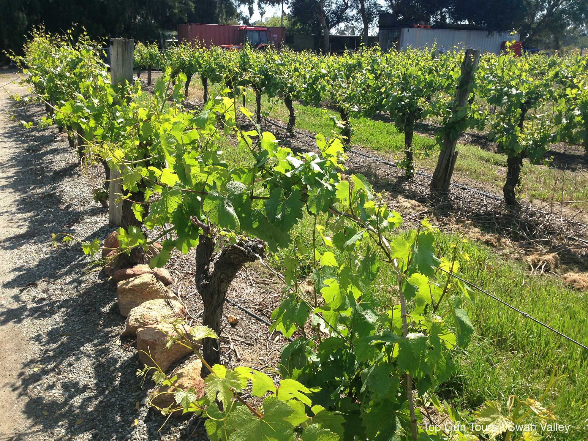 grapevines at Windy Creek Estate, Swan Valley